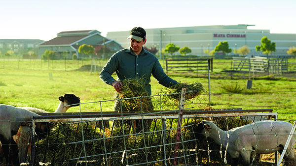 Fresno State agricultural education student Jonathan Moules feeds sheep on the campus farm.